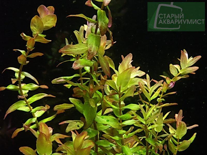 rotala macrandra green